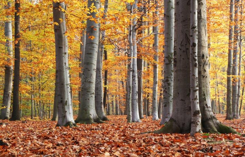 foresta del faggio di autunno fotografia stock