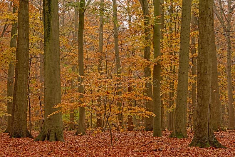 Foresta del faggio di autunno nella campagna fiamminga immagine stock libera da diritti