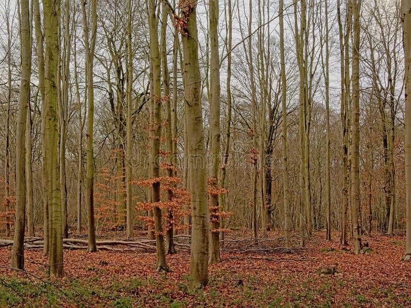 Foresta del faggio di inverno nella campagna fiamminga fotografia stock libera da diritti