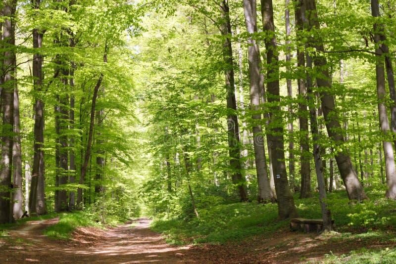 Foresta del faggio durante la primavera immagine stock