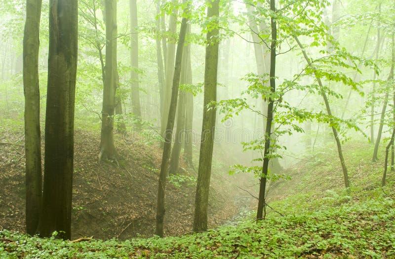 Foresta del faggio in estate dopo la tempesta fotografia stock libera da diritti