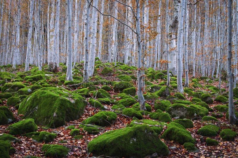 Foresta del faggio fra le rocce con muschio in autunno fotografia stock