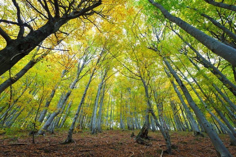 Foresta del faggio illuminata dal sole immagine stock libera da diritti