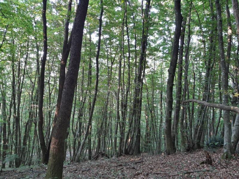 Foresta del faggio in Molise Italia fotografia stock