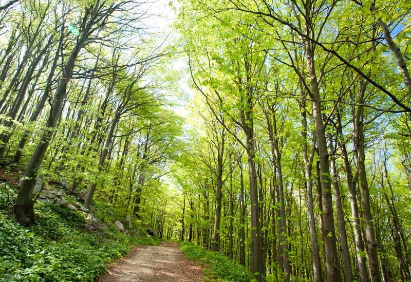 Foresta del faggio in primavera fotografie stock libere da diritti