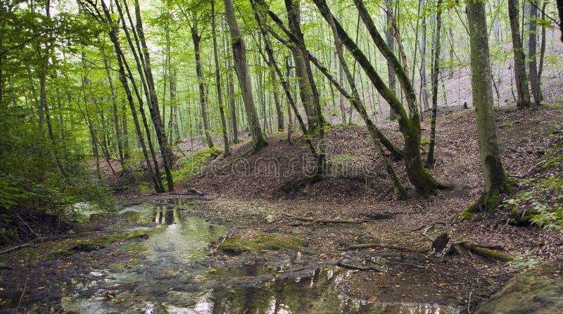 Foresta del faggio, verde di foresta 19 fotografie stock libere da diritti