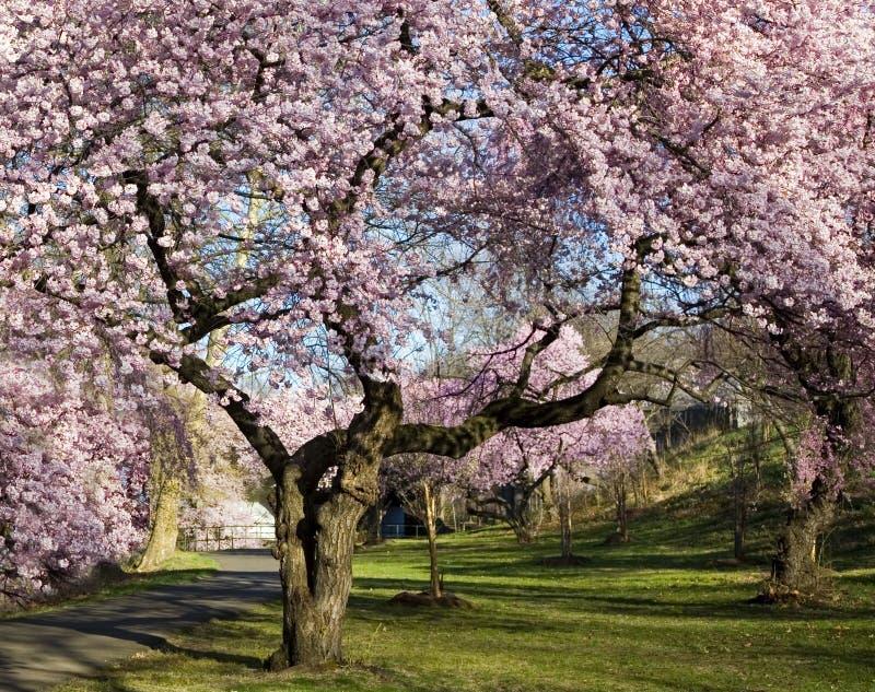 Foresta del fiore di ciliegia fotografia stock libera da diritti