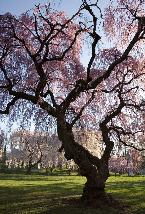 Foresta del fiore di ciliegia immagine stock libera da diritti