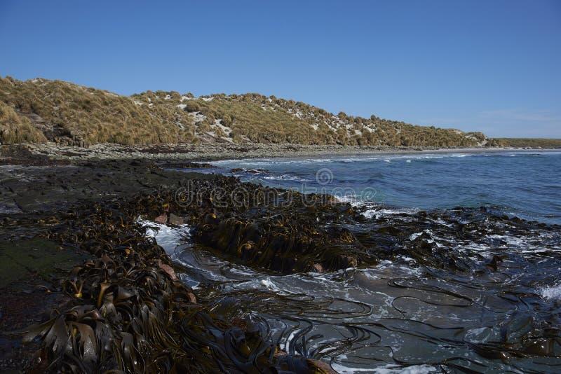 Foresta del fuco sulla costa di Falkland Islands immagini stock
