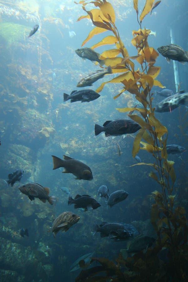 Foresta del kelp immagine stock