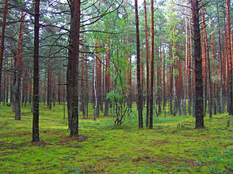 Foresta del pino. immagine stock libera da diritti