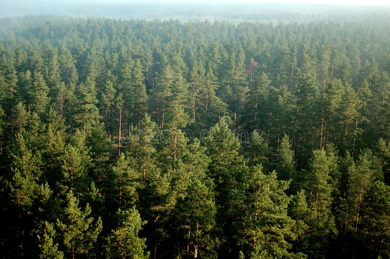 Foresta del pino in foschia 27 (aerei) immagini stock libere da diritti