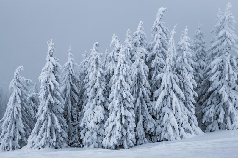 Foresta del pino in inverno fotografia stock libera da diritti