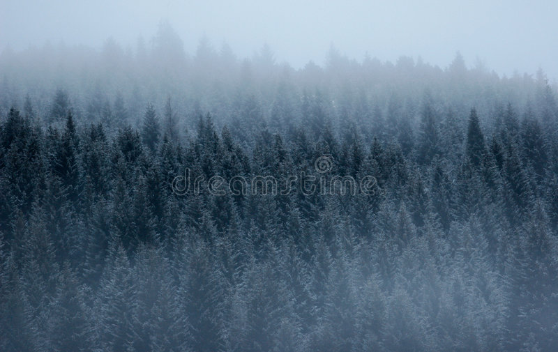 Foresta del pino nella nebbia fotografia stock