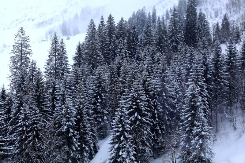 Foresta del pino nella stagione invernale immagini stock libere da diritti