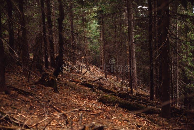 Foresta del pino nelle montagne fotografia stock