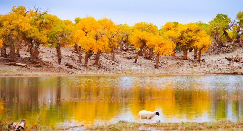 Foresta del pioppo fotografia stock