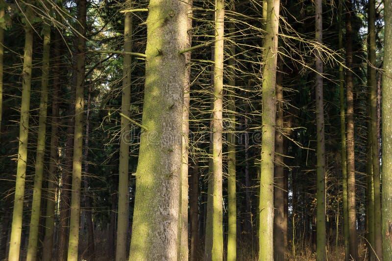 Foresta dell'abete. Vecchi alberi attillati. fotografia stock libera da diritti