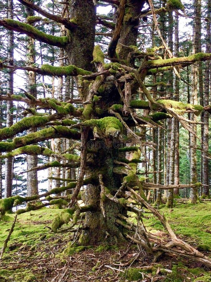 Foresta dell'Alaska fotografia stock