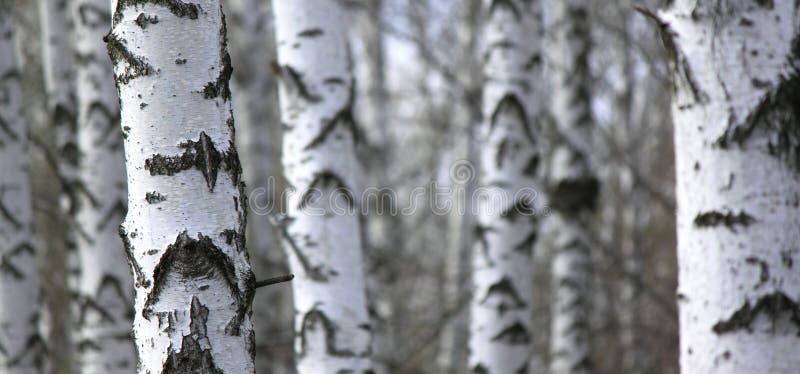 Foresta dell'albero di betulla, sfondo naturale, birchwood fotografia stock libera da diritti