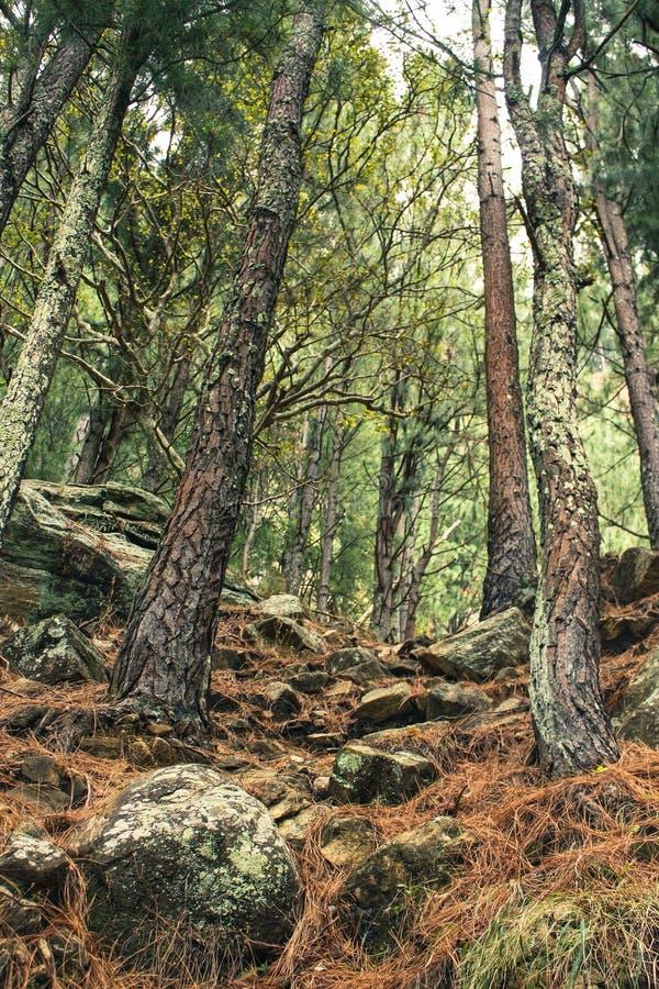 Foresta dell'albero di Brown immagine stock libera da diritti