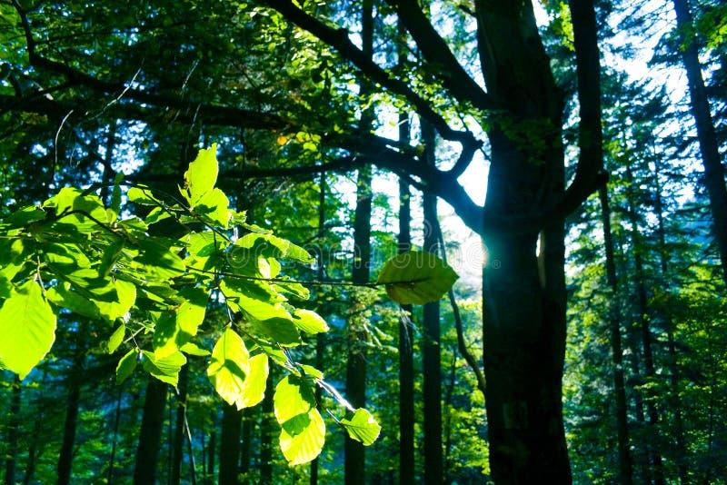 Foresta dell'albero di faggio fotografia stock