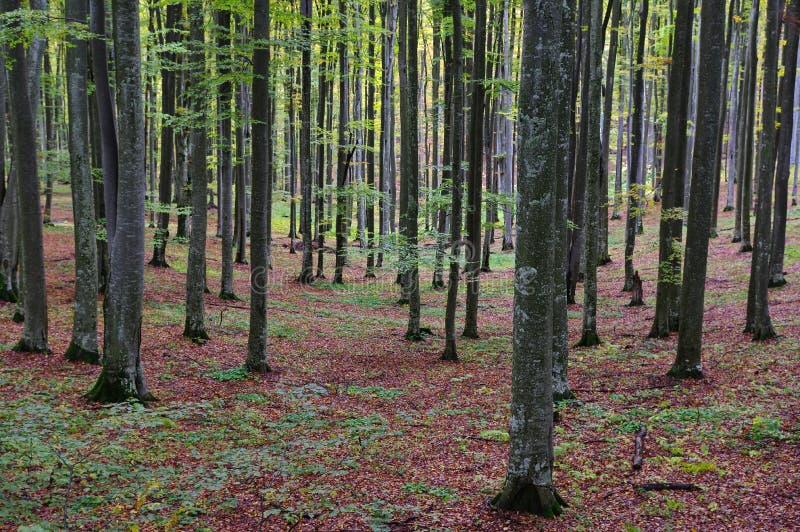 Foresta dell'albero di faggio in autunno immagini stock libere da diritti