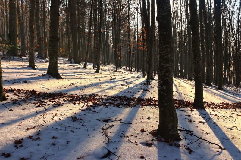 Foresta dell'albero di faggio in inverno immagine stock libera da diritti