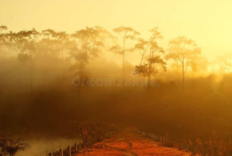 Foresta dell'albero di pino del coperchio della foschia di mattina fotografie stock libere da diritti