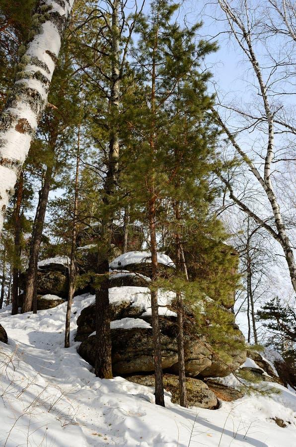 Foresta dell'Altai immagine stock