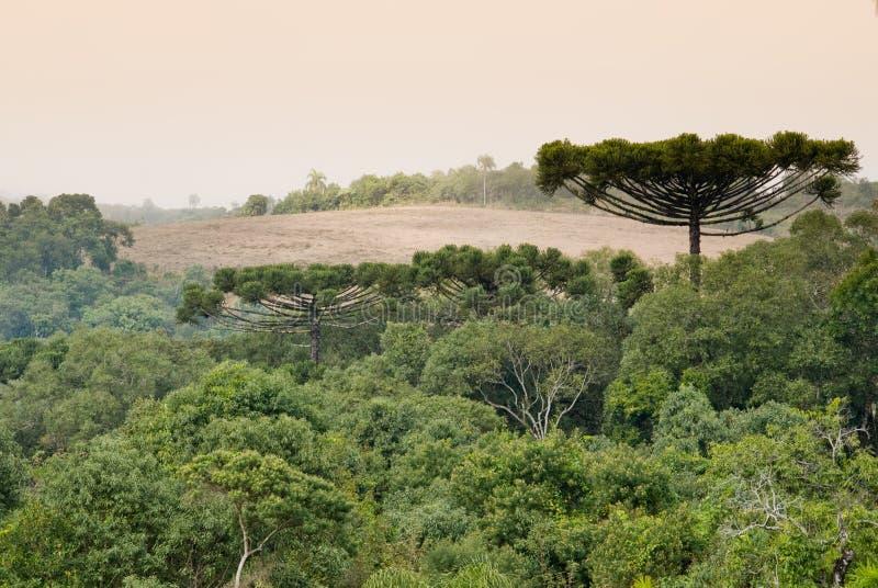 Foresta dell'araucaria fotografia stock