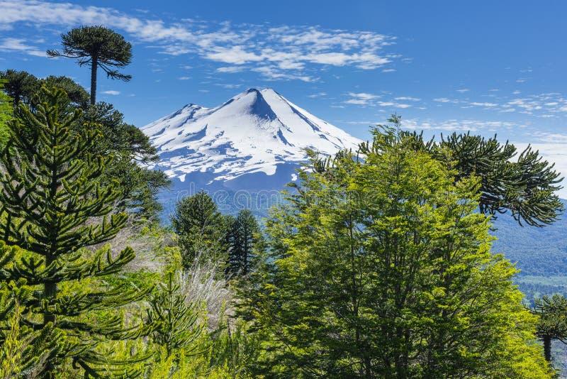 Foresta dell'araucaria nel parco nazionale di Conguillio, Cile fotografia stock