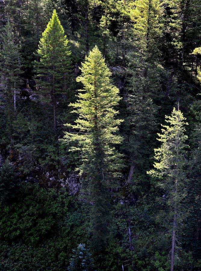 Foresta dell'indicatore luminoso di mattina degli alberi di pino immagine stock libera da diritti
