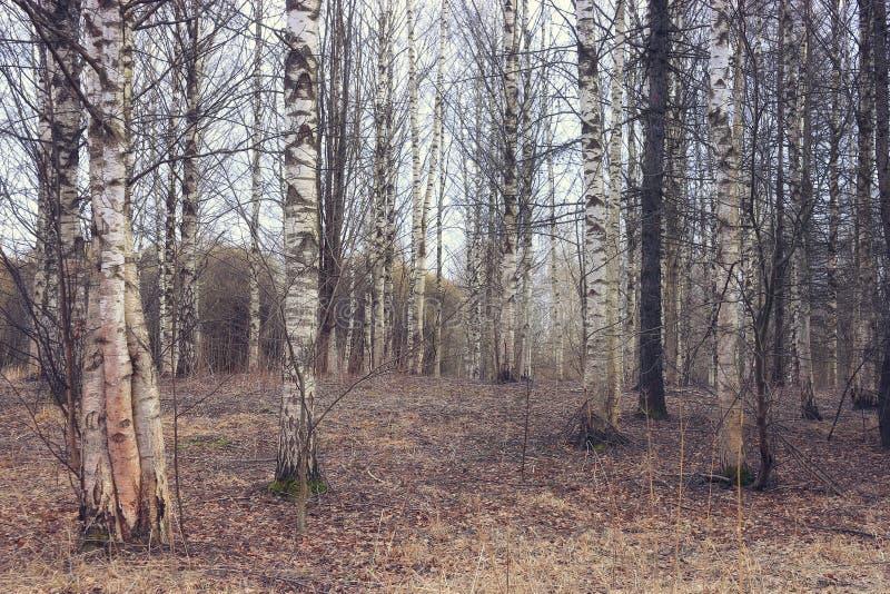 Download Foresta della betulla fotografia stock. Immagine di corteccia - 55359734