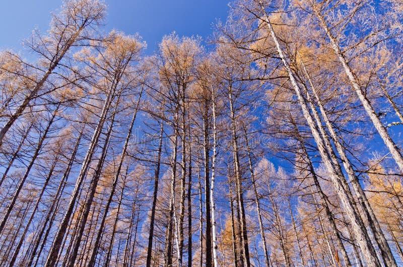 Foresta della betulla in autunno tardo immagine stock libera da diritti