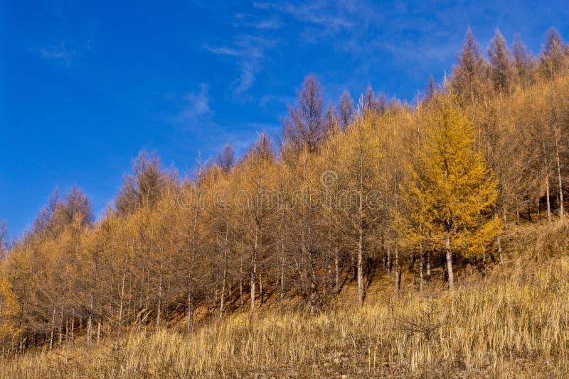 Foresta della betulla in autunno tardo immagine stock