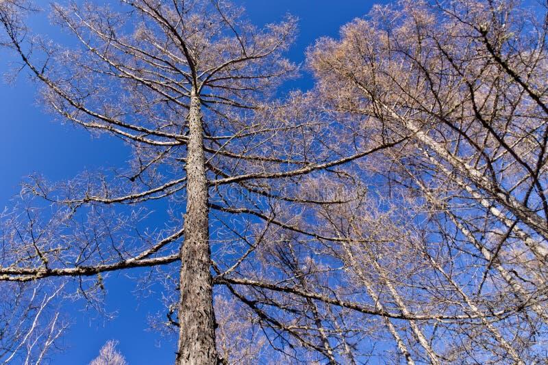 Foresta della betulla in autunno tardo fotografia stock libera da diritti