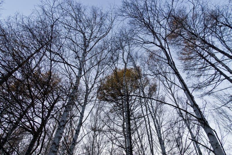 Foresta della betulla in autunno tardo fotografia stock