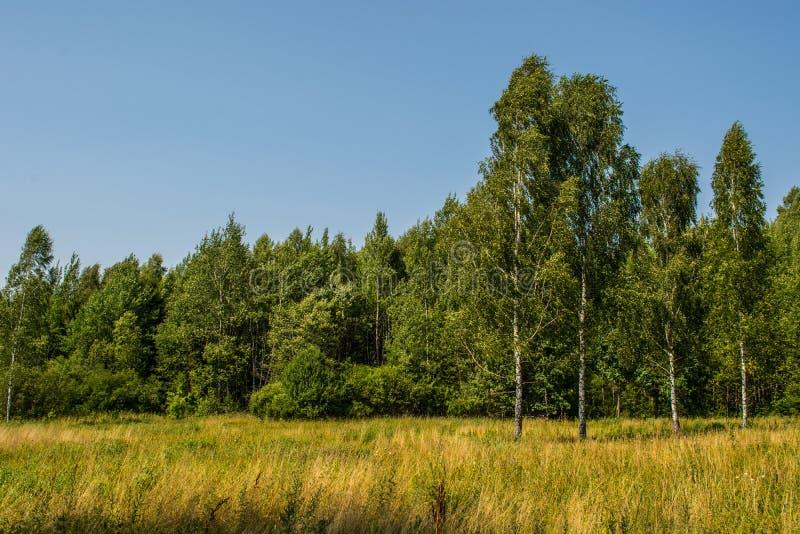 Foresta della betulla con la foto del cielo blu immagine stock