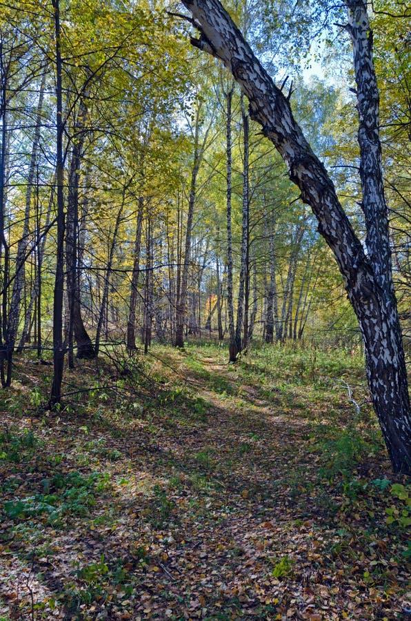 Foresta della betulla di autunno immagine stock libera da diritti