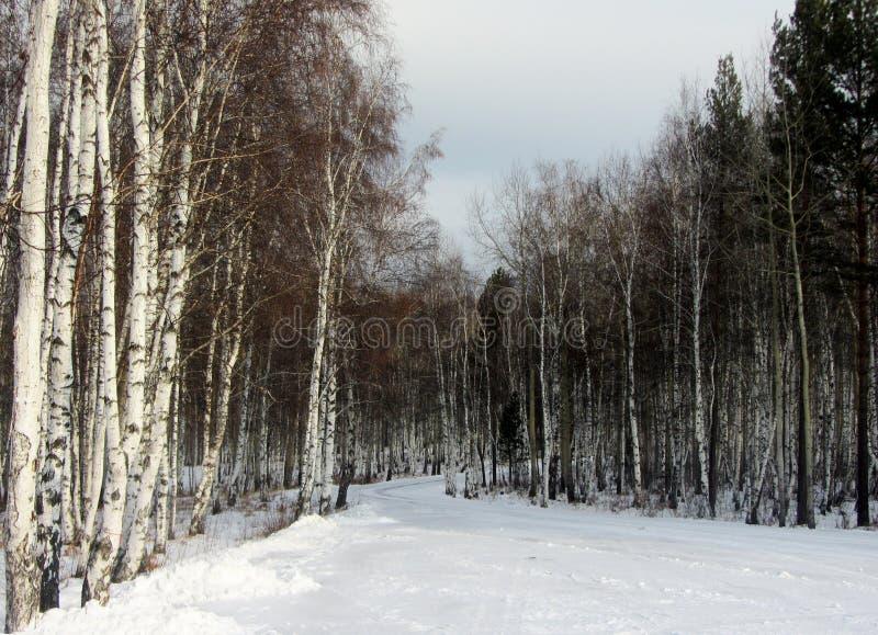 Foresta della betulla di inverno fotografia stock libera da diritti