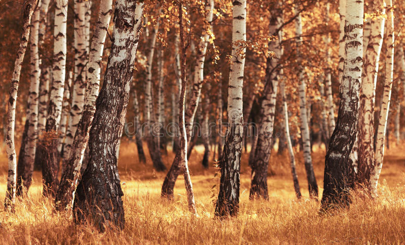 Foresta della betulla mentre stagione di autunno immagini stock