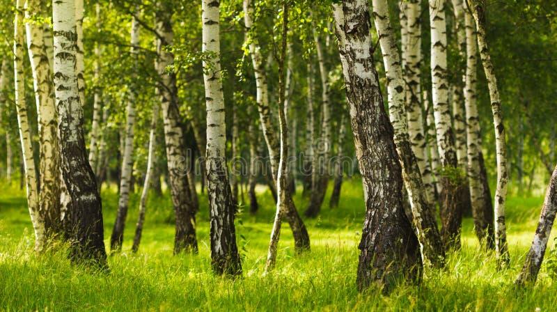 Foresta della betulla mentre stagione estiva fotografia stock