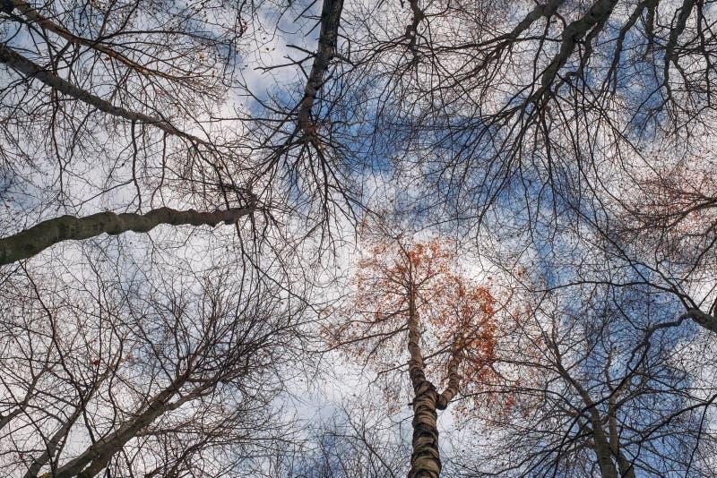 Foresta della betulla senza foglie immagine stock libera da diritti
