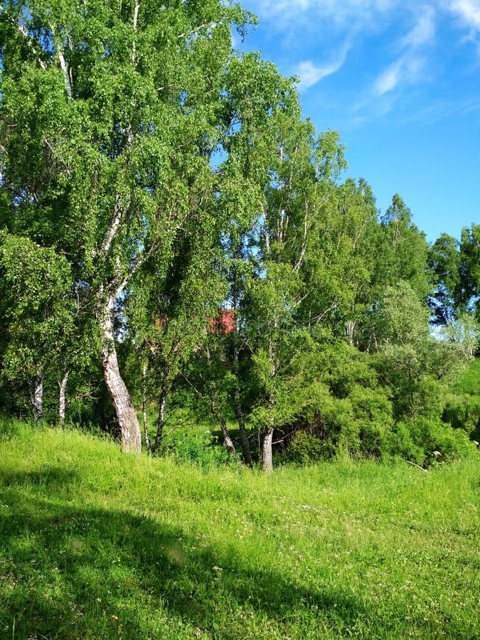 Foresta della betulla vicino al villaggio contro lo sfondo di chiaro cielo blu con le nuvole fotografie stock libere da diritti