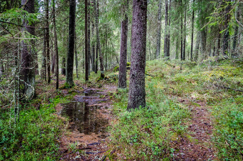 Foresta della Carelia immagini stock