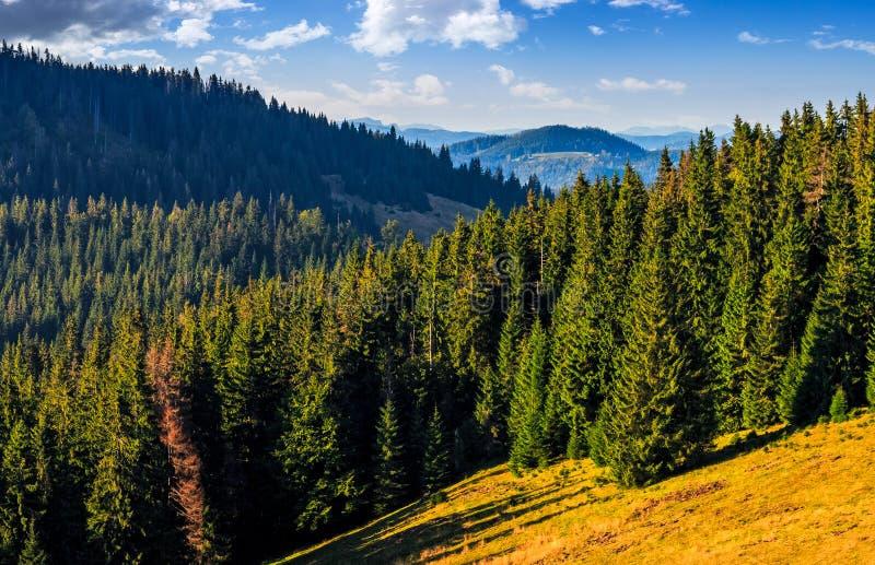 Foresta della conifera nel paesaggio classico della valle della montagna carpatica immagini stock libere da diritti