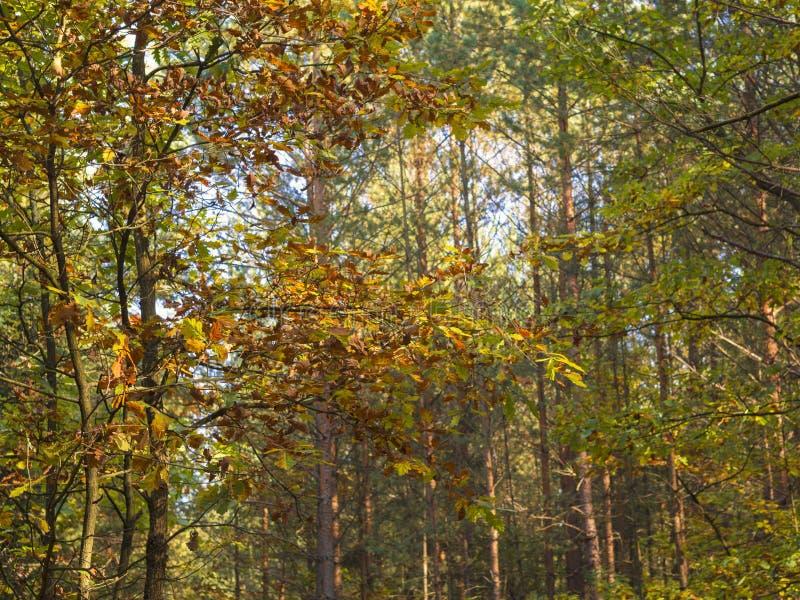 Foresta della latifoglia di giallo arancio di autunno alla luce del sole fotografia stock
