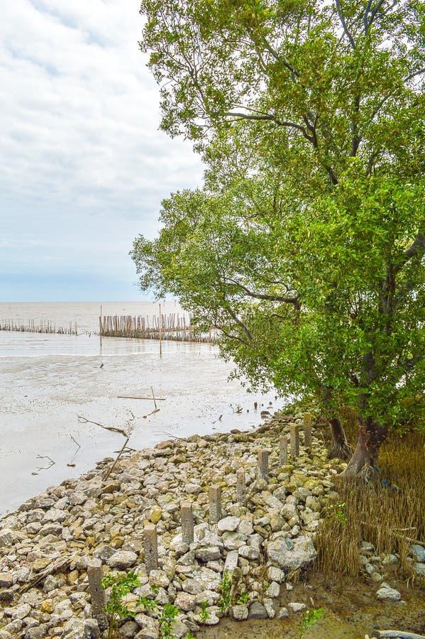Foresta della mangrovia nel bangpakong, Chachoengsao, Tailandia fotografia stock libera da diritti