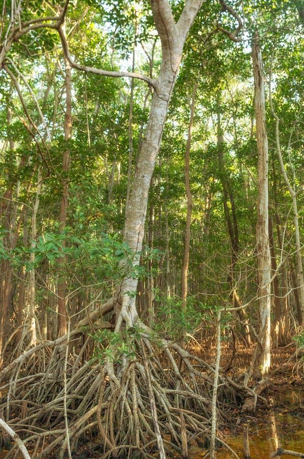Foresta della mangrovia in Sian Kaan, riserva di biosfera, Quintana Roo, Messico immagini stock